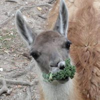 A hungry llama eating brocolli